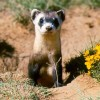 BLACK-FOOTED FERRET-RECOVERY