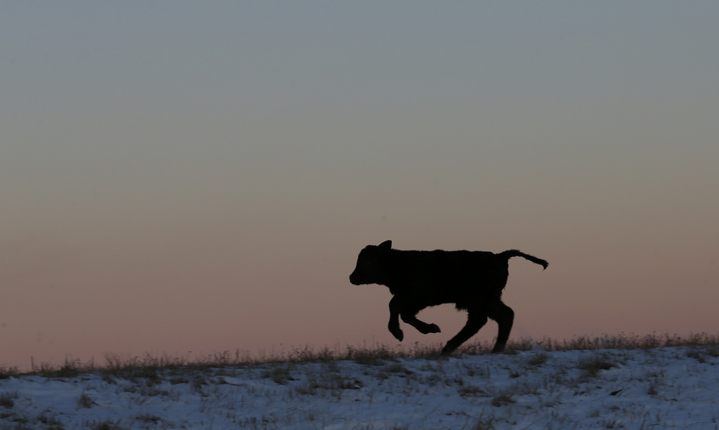 Ein Kalb nahe Lecompton, Kansas USA (AP Photo/Orlin Wagner)