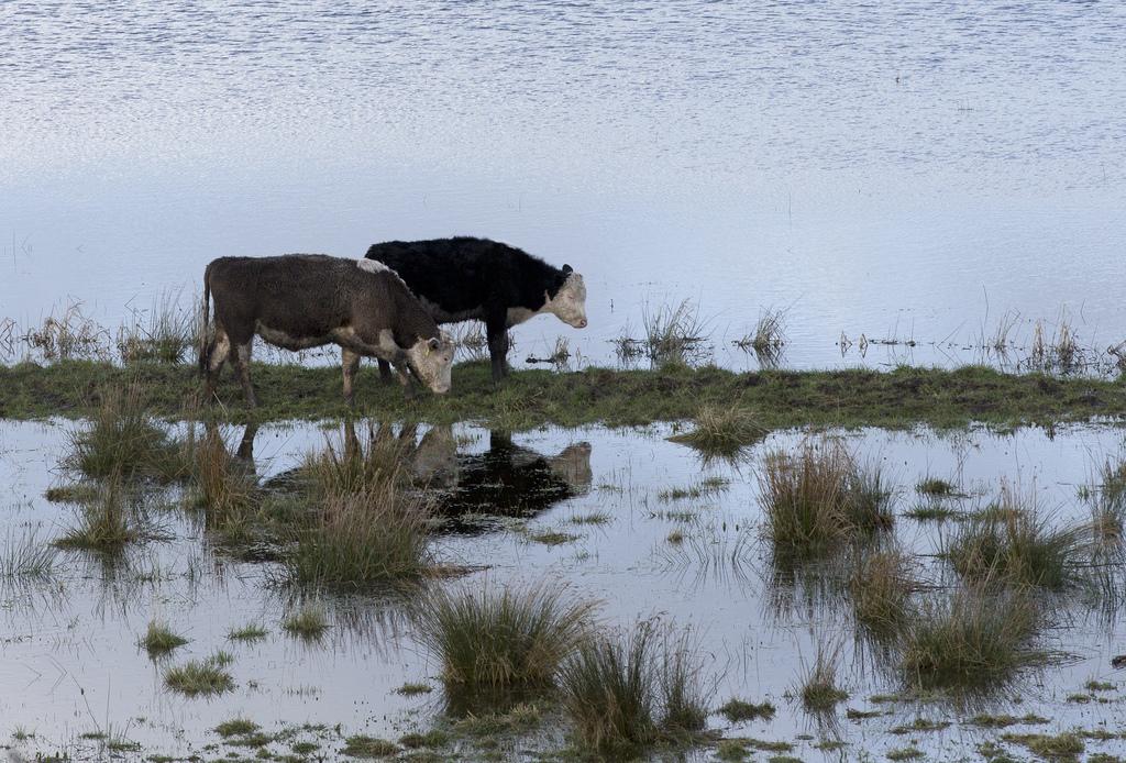 Kühe in den Fluten Südenglands, Somerset (AP Photo/Alastair Grant)