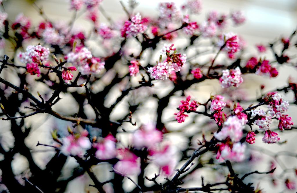 Frühlingsboten in Salzburg, Österreich APA-FOTO: BARBARA GINDL