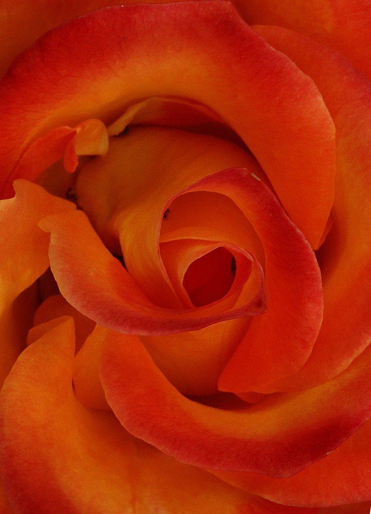 Rose in Neu Delhi, Indien EPA/HARISH TYAGI