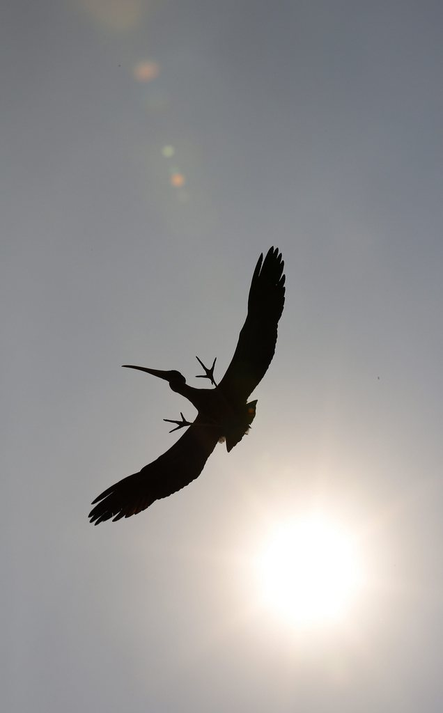 Ein Pelikan startet im Zoo von Neu Delhi, Indien EPA/HARISH TYAGI