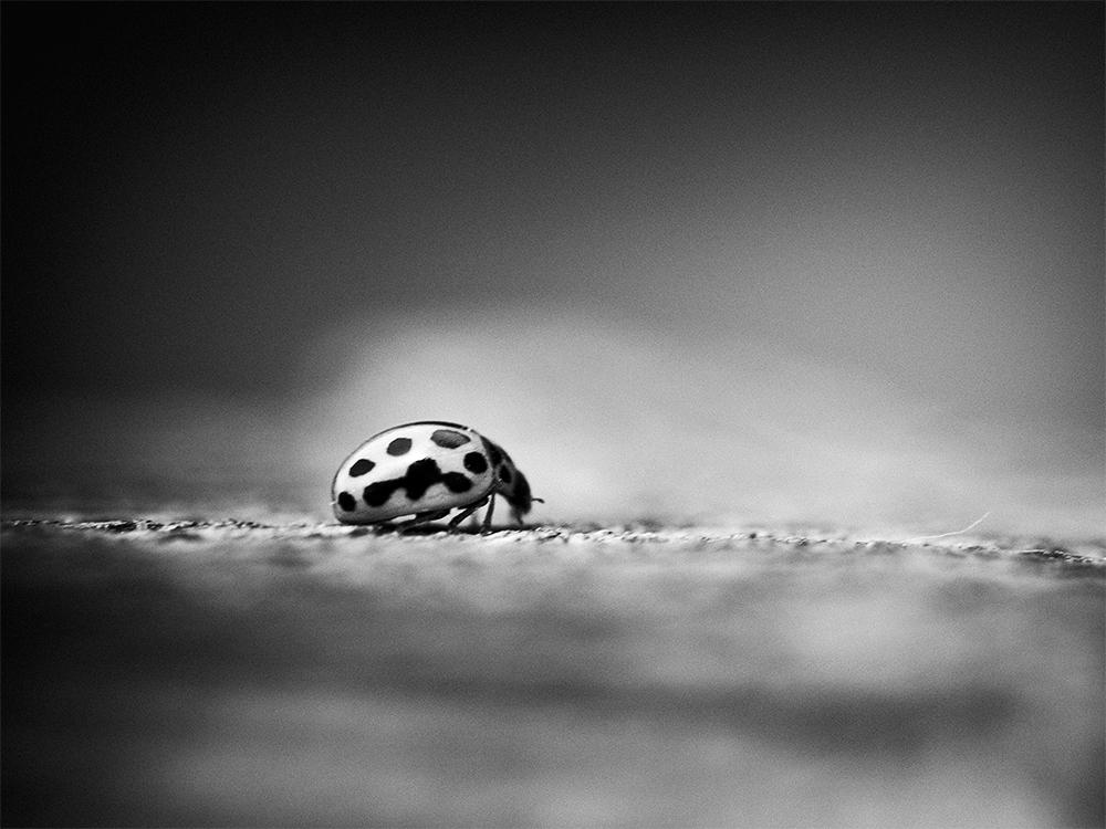 Der Käfer in Schwarz-Weiss