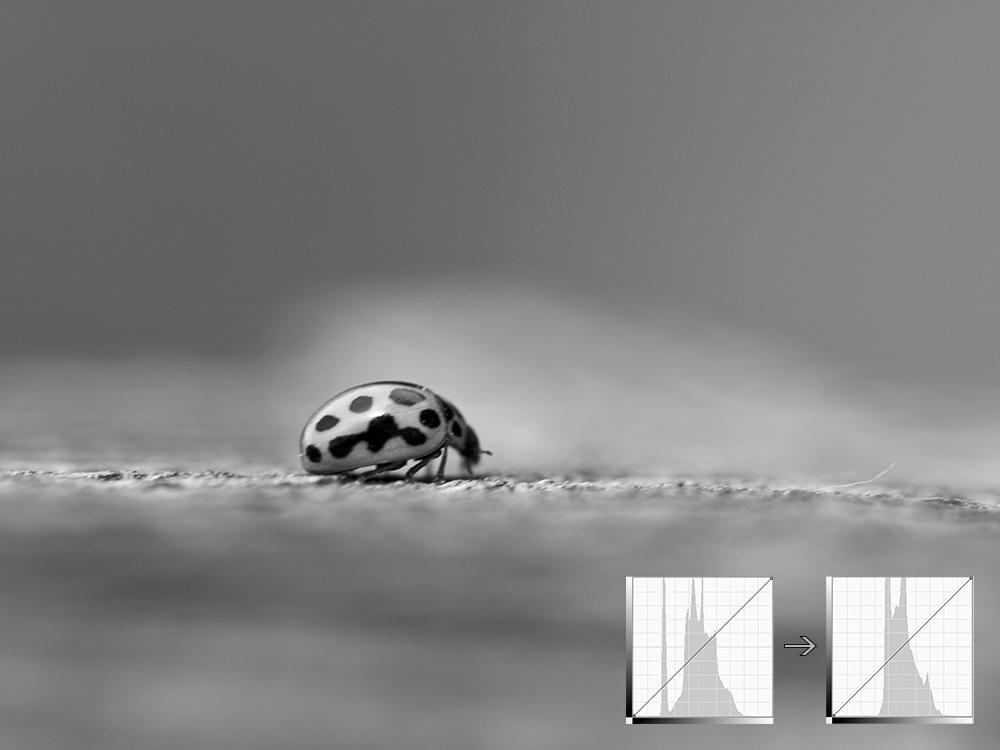 Schwarzweiss-Fotografie des Marienkäfers in der Graustufenumwandlung