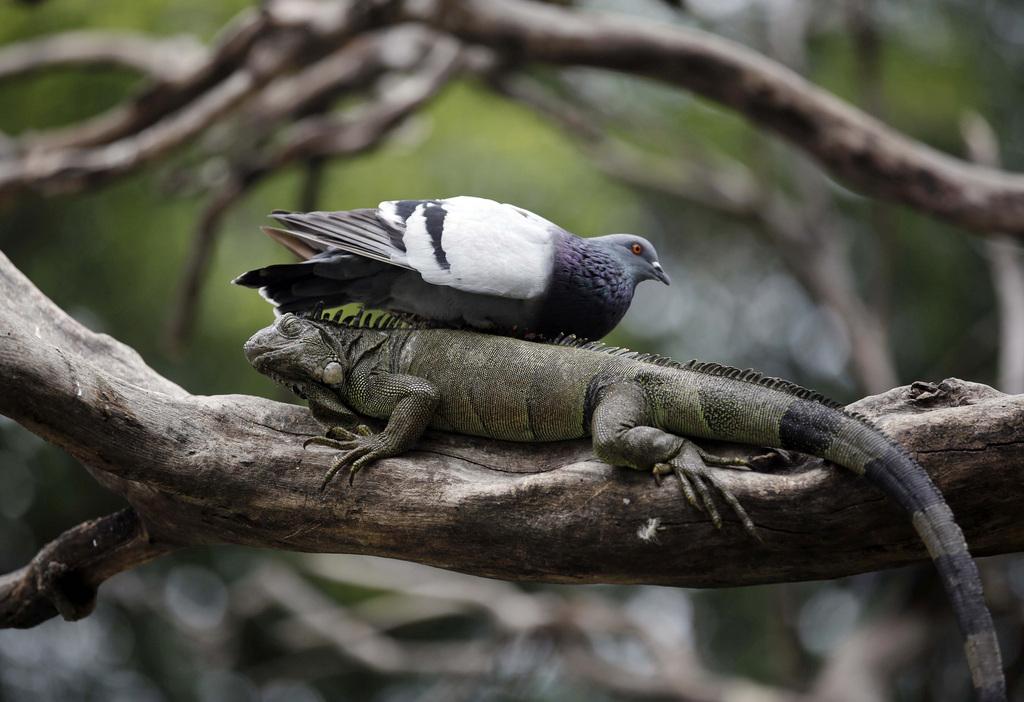 Die Taube auf dem Leguan, Guayaquil Ecuador  (AP Photo/Dolores Ochoa)