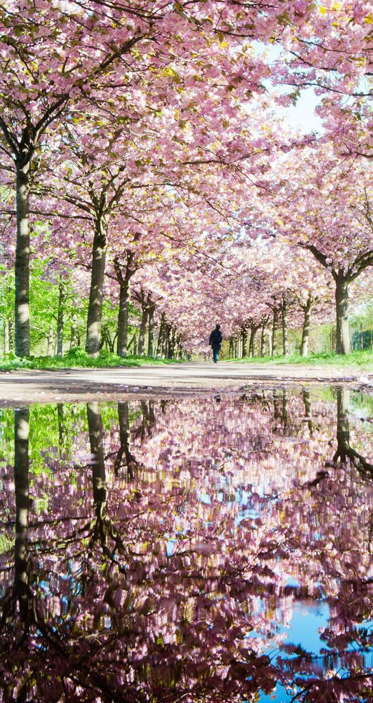 Kirschblüte in Berlin, Deutschland (Keystone/EPA/Hauke-Christian Dittrich)