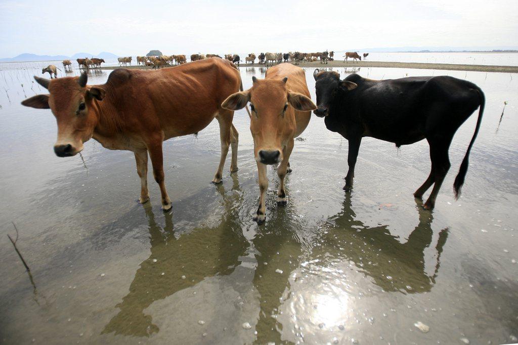 Kühe am Strand, Aceh, Indonesien,  EPA/HOTLI SIMANJUNTAK