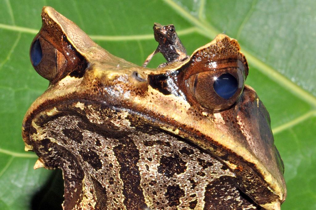 Zipfelkrötenfrosch mit Nachwuchs, Wien A, APA-FOTO: HAUS DES MEERES/GÜNTHER HULLA