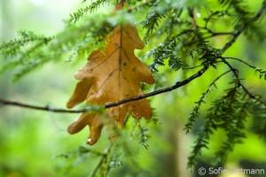 Eichenblätter nach Regen