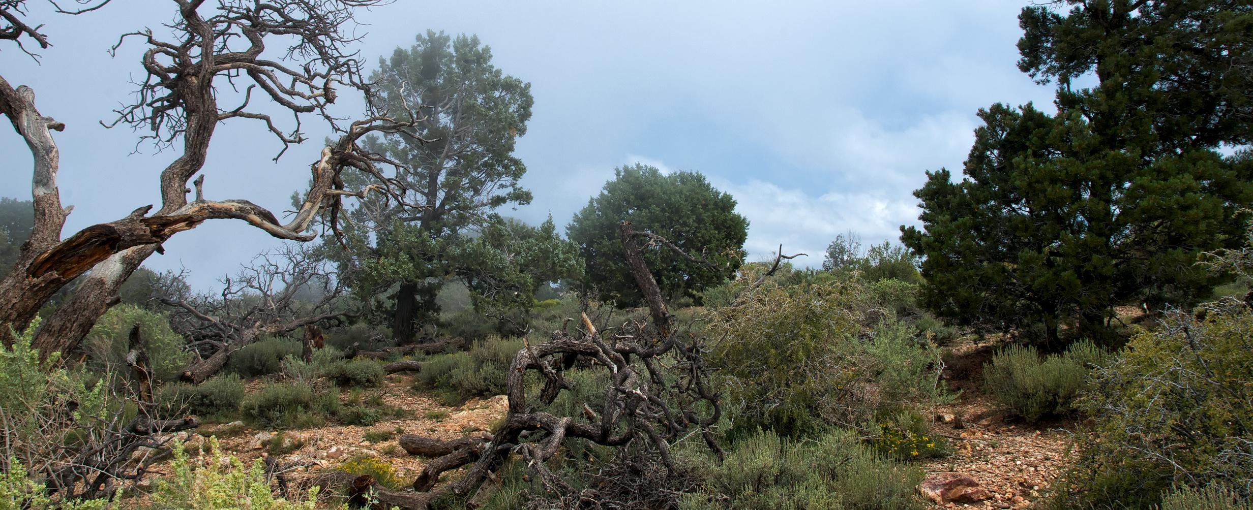 Leserfoto - Grand Canyon at Navajo Point:  Der Vorder-/Hintergrund vor lauter Bäumen