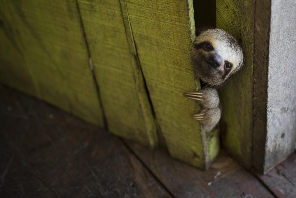 Ein junges Faultier schaut hinter einer Tür hervor, nahe Manaus, Brasilien (AP Photo/Felipe Dana)