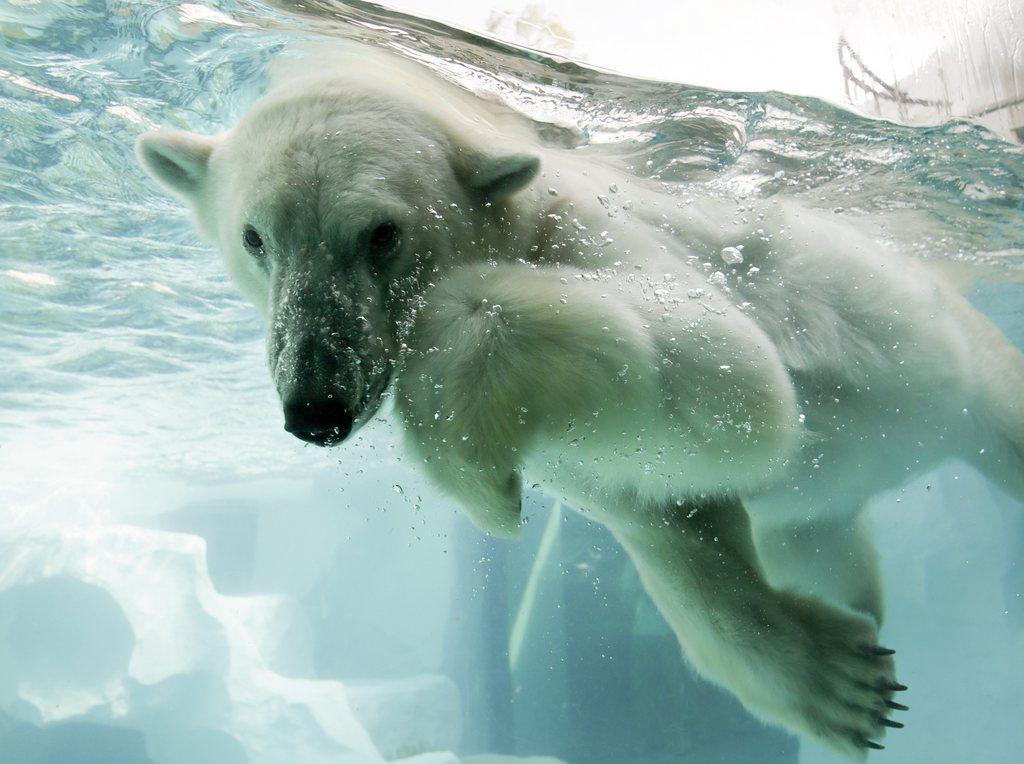 Eisbär im Zoo von Tokyo, Japan (Keystone/EPA/Kimimasa Mayama)