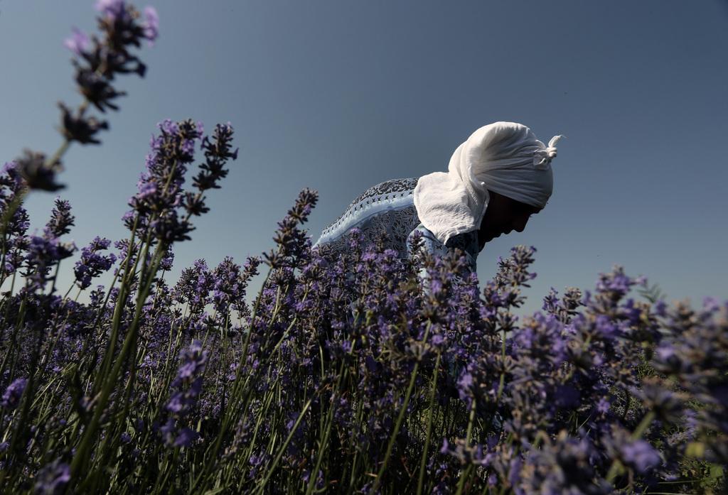 Lavendelblüte in Tarnichane, Bulgarien (Keystone/AP Photo/Valentina Petrova)