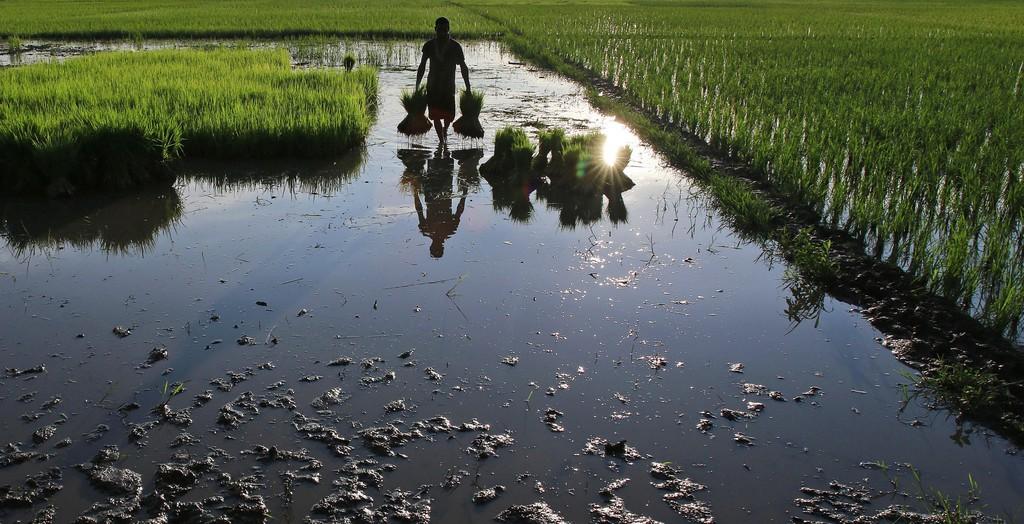 Auf den Reisfeldern in Gauhati, Indien (Keystone/AP Photo/Anupam Nath)