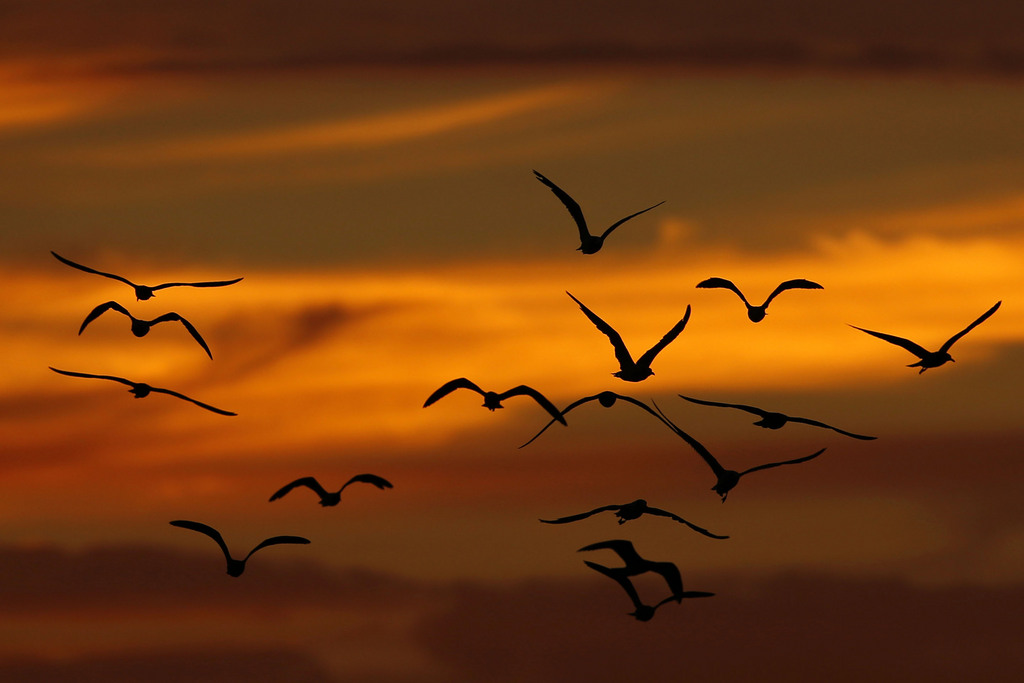 Fliegende Vögel im Licht des Sonnenuntergangs, Philadelphia; USA  (AP Photo/Matt Slocum)