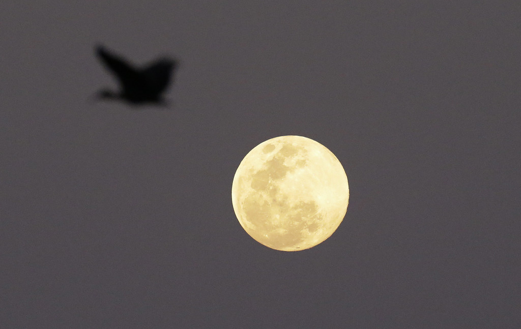 Ibis und Vollmond, Johannesburg, Südafrika  (AP Photo/Themba Hadebe)