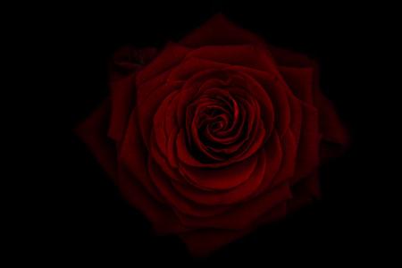 Rose, Blume, Blüte, dunkel, schwarz