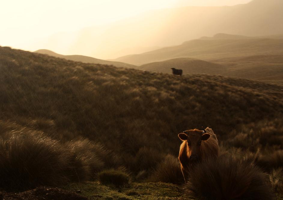 zwei Kühe im Hochland, eine untergehende Sonne, leichter Nieselregen: Was will man mehr? ©Robin Dirks