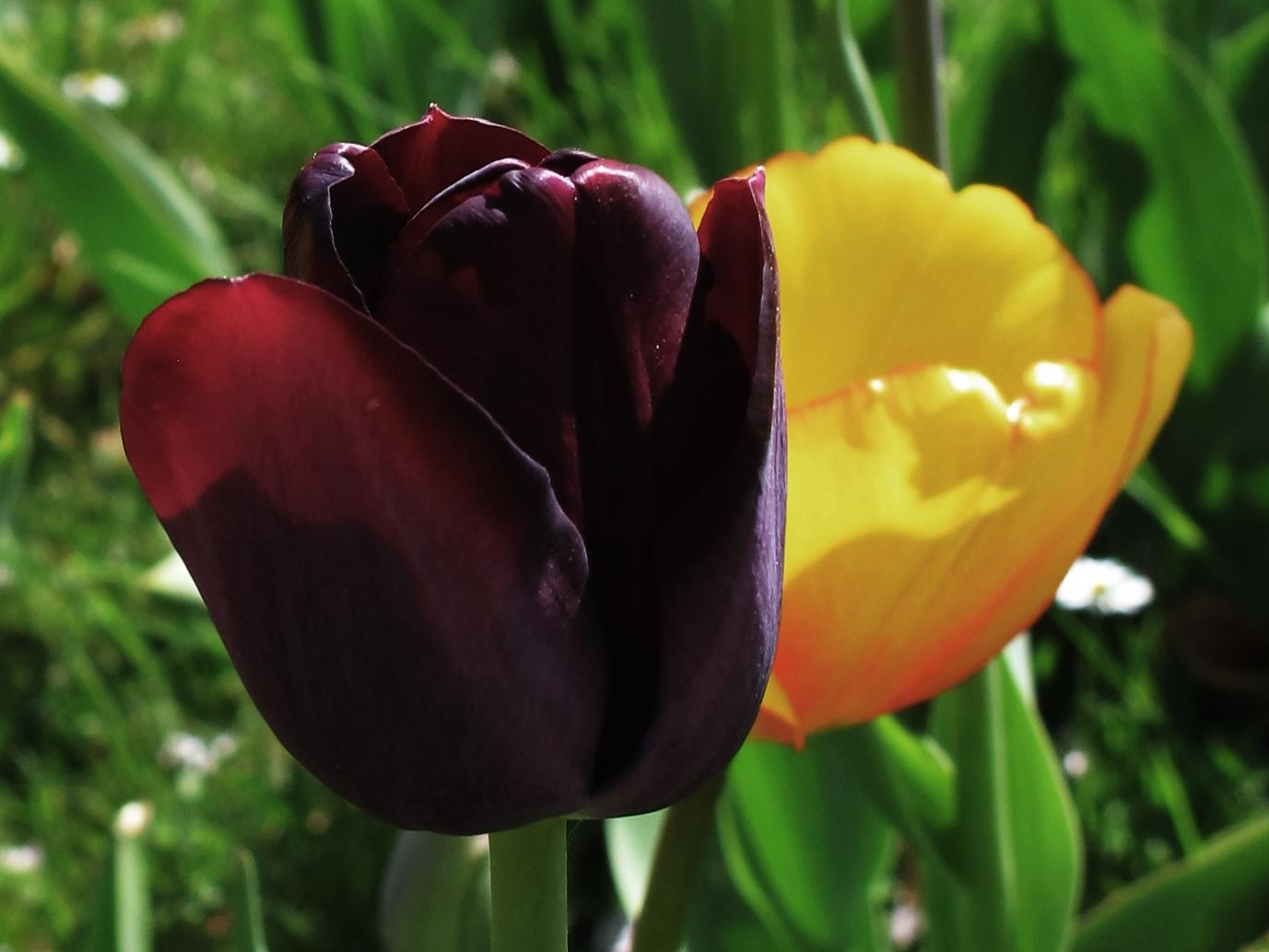 Tulpenfotografie