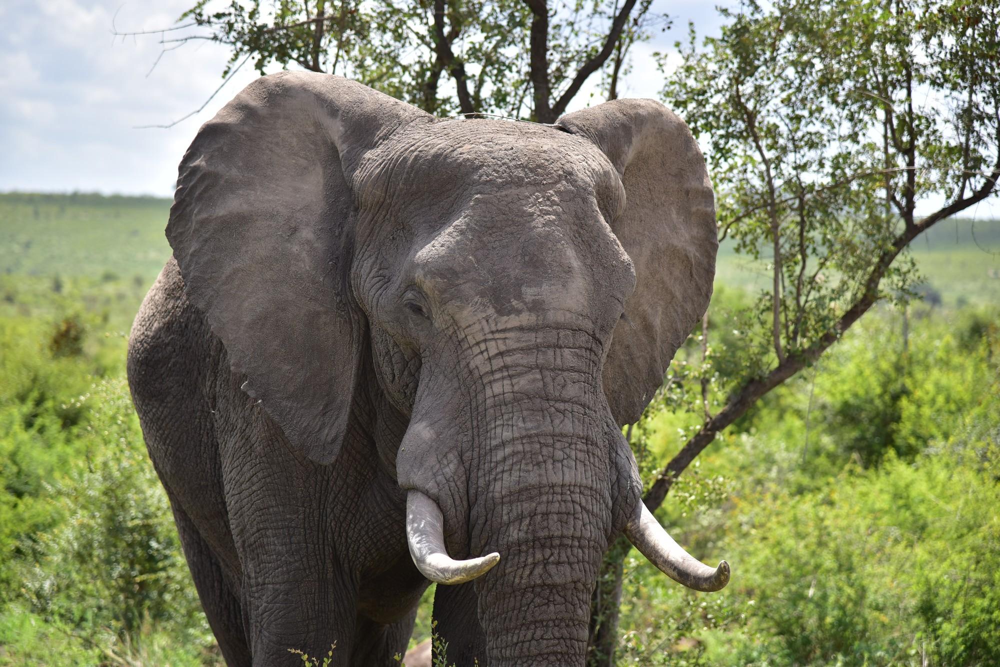 Foto eines Elefanten in freier Wildbahn ©