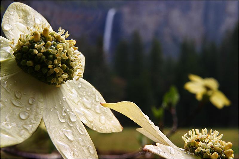 Bridalveil Dogwood, Yosemite {Gary Hart;http://garyhartblog.com/}