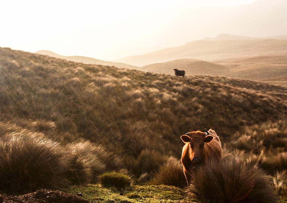 Kuh in Ecuador