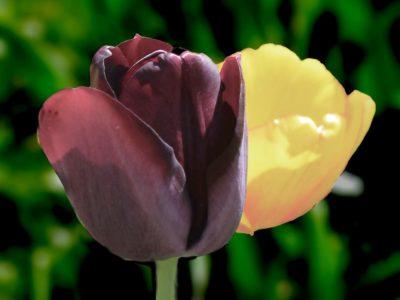 Tulpen dunkler