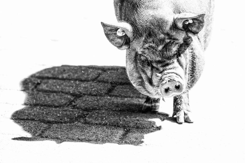 Hängebauchschwein in High-Key.