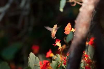 Mein einziger fliegender Kolibri - sieht aus wie eine abstürzende Spitzmaus.