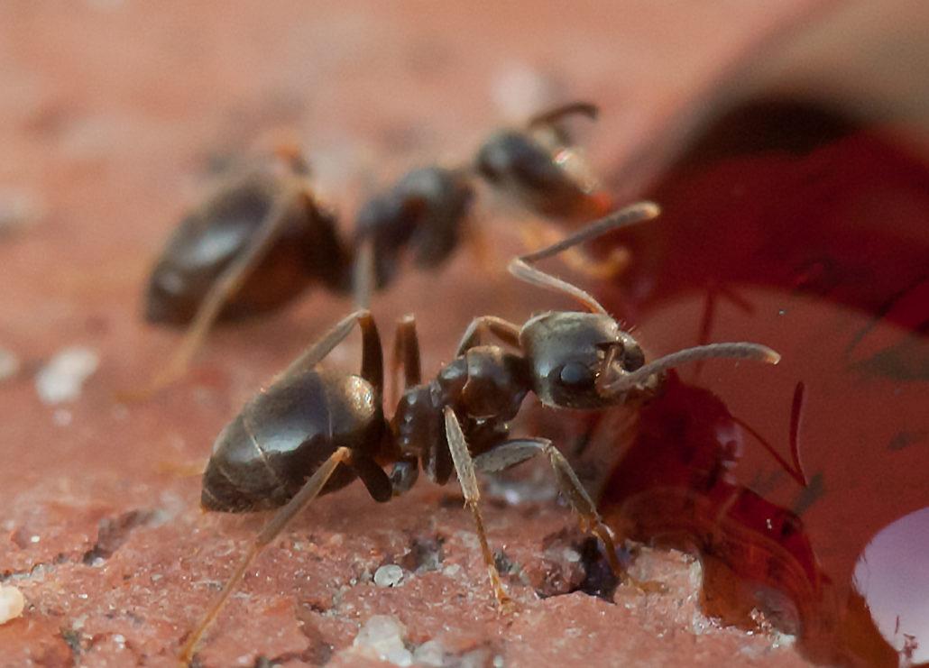 Ameisen beim Fressen Makrofotografie