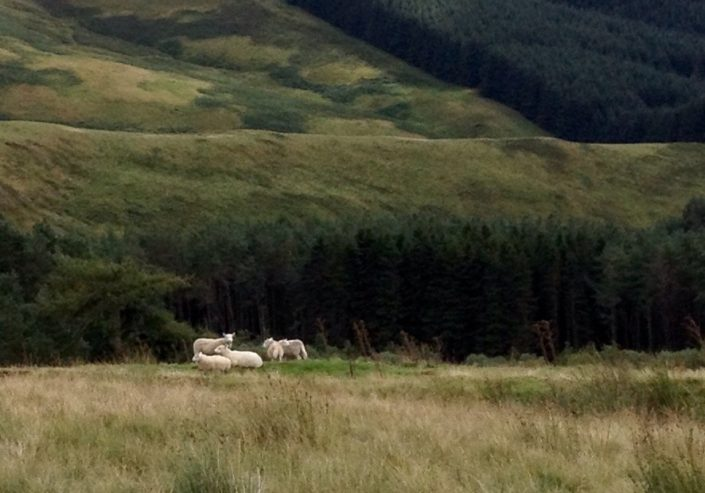 iPhone-Foto: Schafe in grüner Landschaft