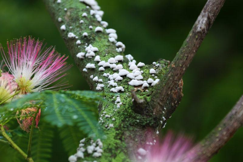 Telefotografie eines persischen Seidenbaumes