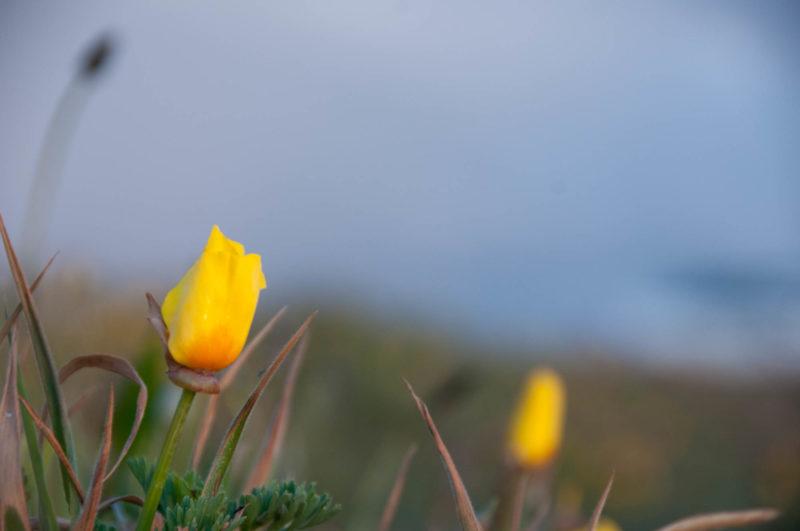 California Poppy Blumenfoto