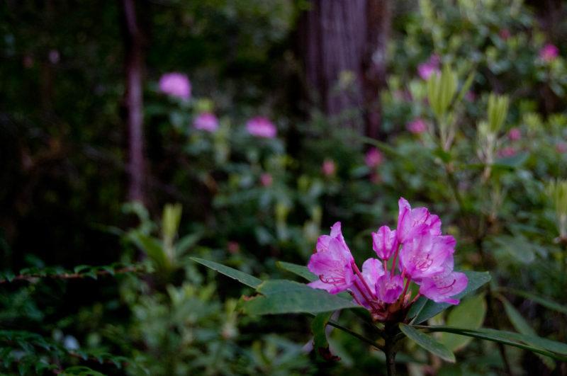 Rhododendronblüten im kalifornischen Küstenwald