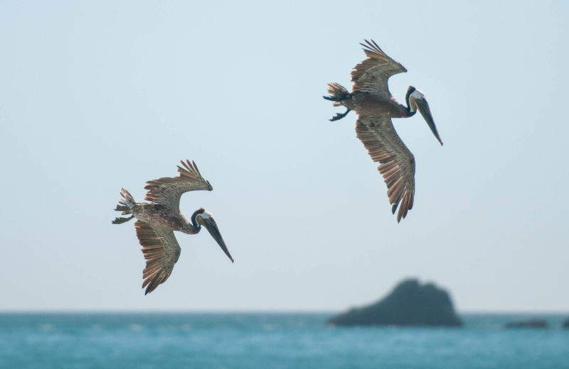 Pelikane beim Fischen