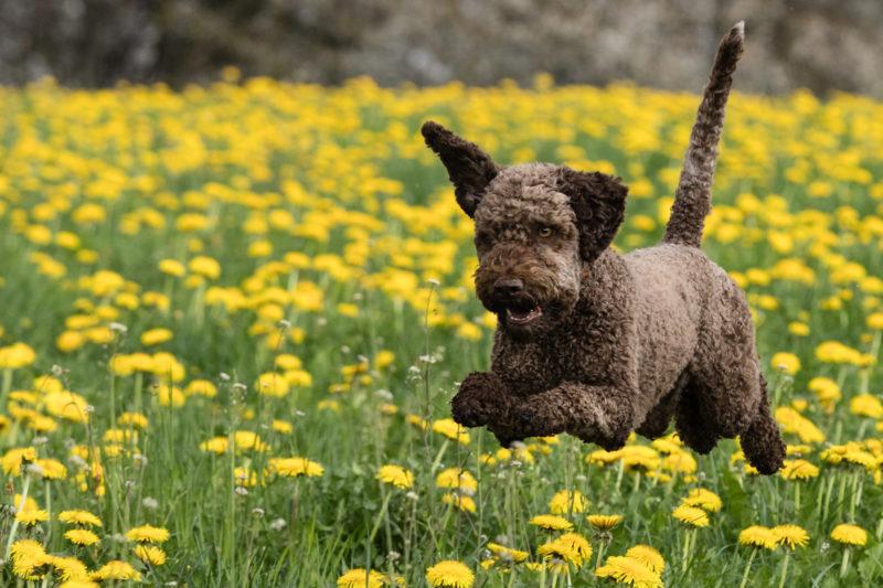Hund springend in Blumenfeld