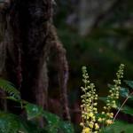 Gelbe Blüten im Redwood