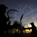Weizenernte in Palästina (AP Photo/Mohammed Ballas)