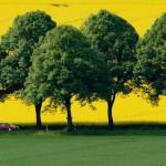 Blühender Raps nahe Achtum, Deutschland EPA/JULIAN STRATENSCHULTE