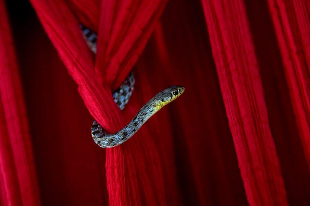 Schlange auf rotem Stoff, nahe Kalkutta Indien EPA/PIYAL ADHIKARY