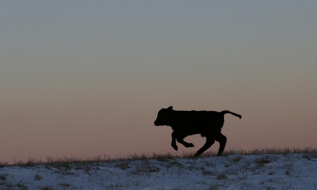 Ein Kalb nahe Lecompton, Kansas USA (AP Photo/Orlin Wagner)