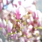 Frühe Magnolienblüten in Salzburg A,  APA-FOTO: BARBARA GINDL