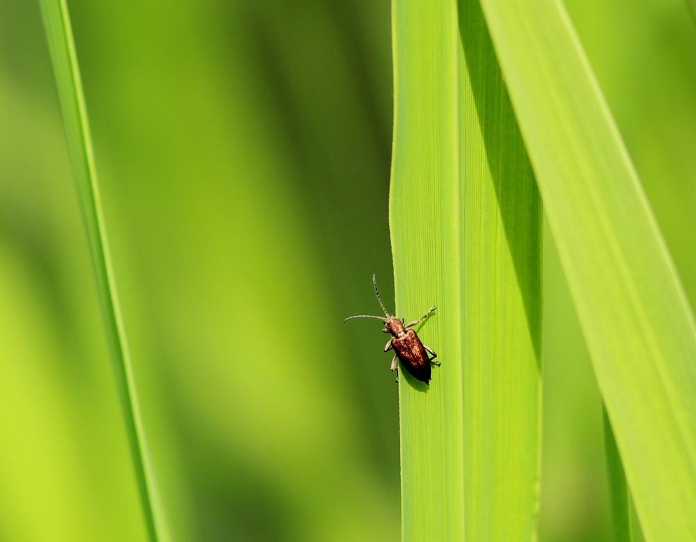 Makroaufnahme eines Käfers auf einem Schilfblatt