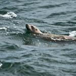 Seelöwe vor Monterey