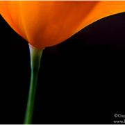 Kalifornische Poppy
