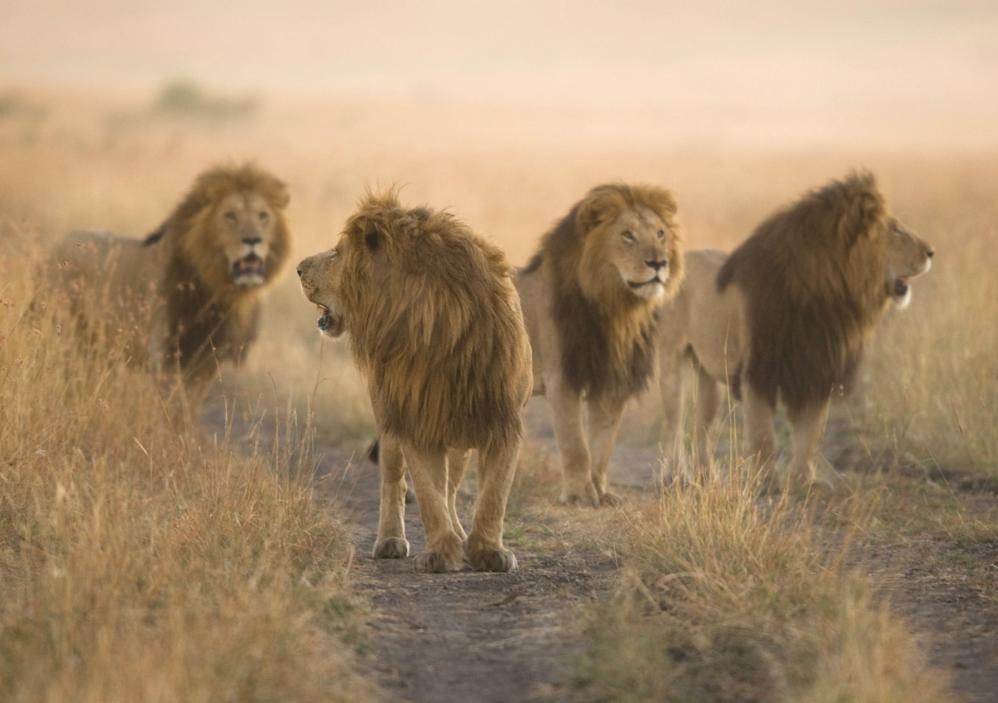 Eine Gruppe Löwen, fotografiert im Morgengrauen mit dem 300mm Teleobjektiv. © Wwerner Schmäing
