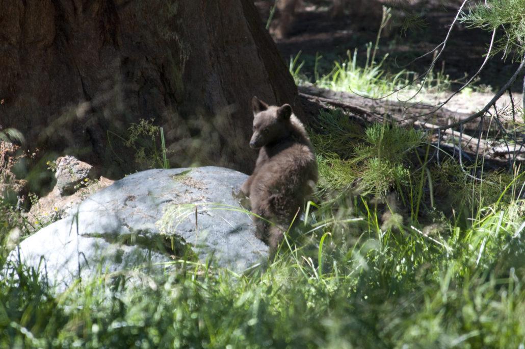 Nicht viel mehr als ein Beweisfoto: Bärenjunges im Wald.
