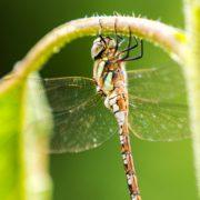libelleblatt