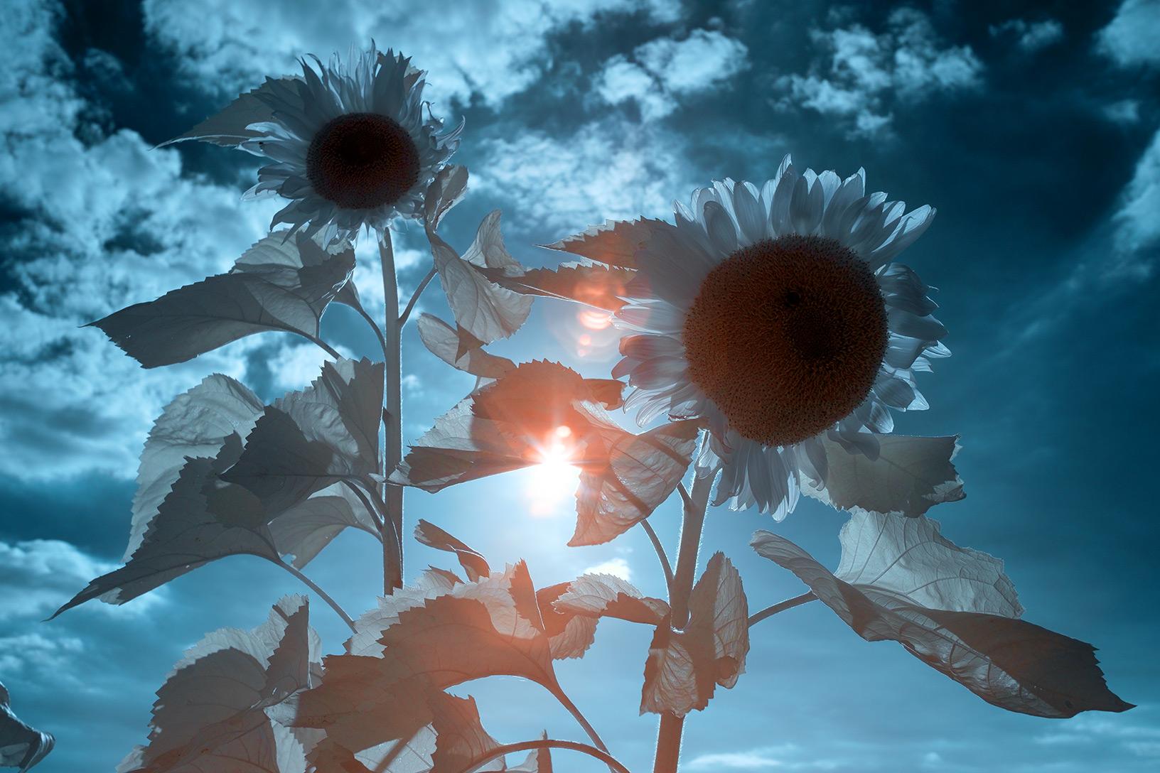 Sonnenblumen in Infrarot