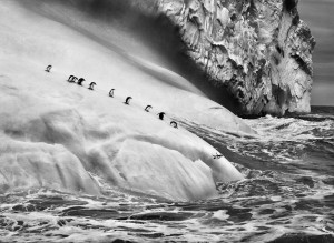 South Sandwich Islands. Chinstrap penguins (Pygoscelis antarctica) on icebergs located between Zavodovski and Visokoi islands. South Sandwich Islands. 2009.